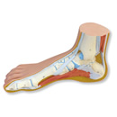 Normal Foot Model